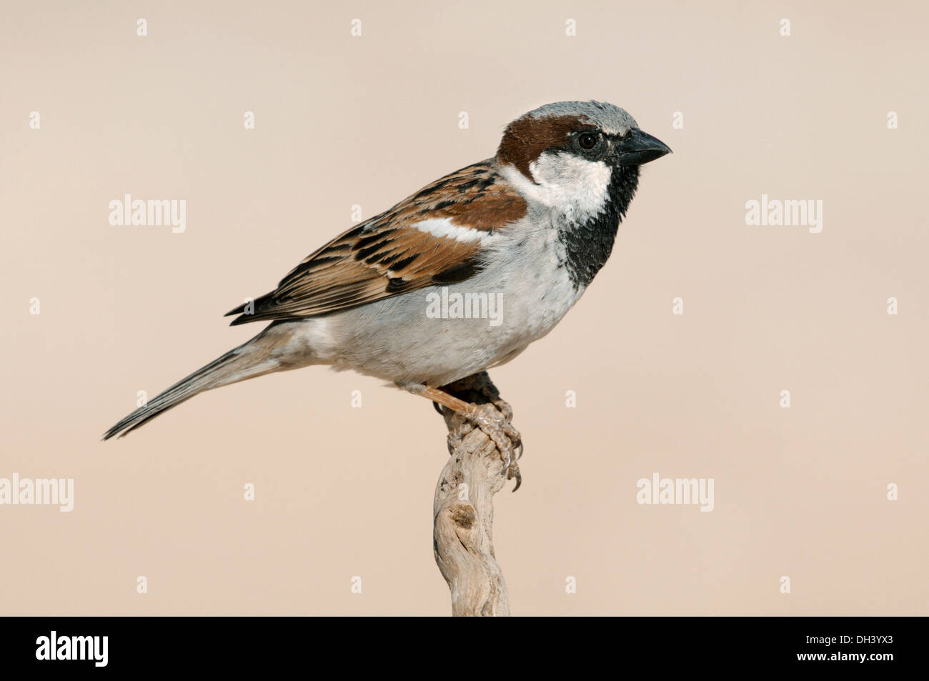 House Sparrow Passer domesticus - Stock Image