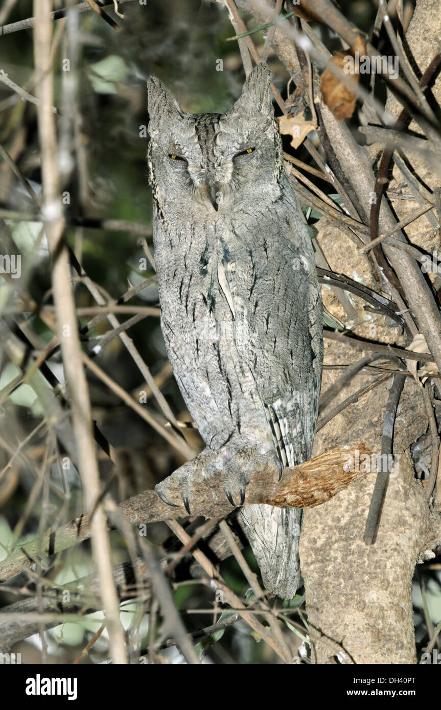 Pallid Scops Owl - Otus brucei - Stock Image