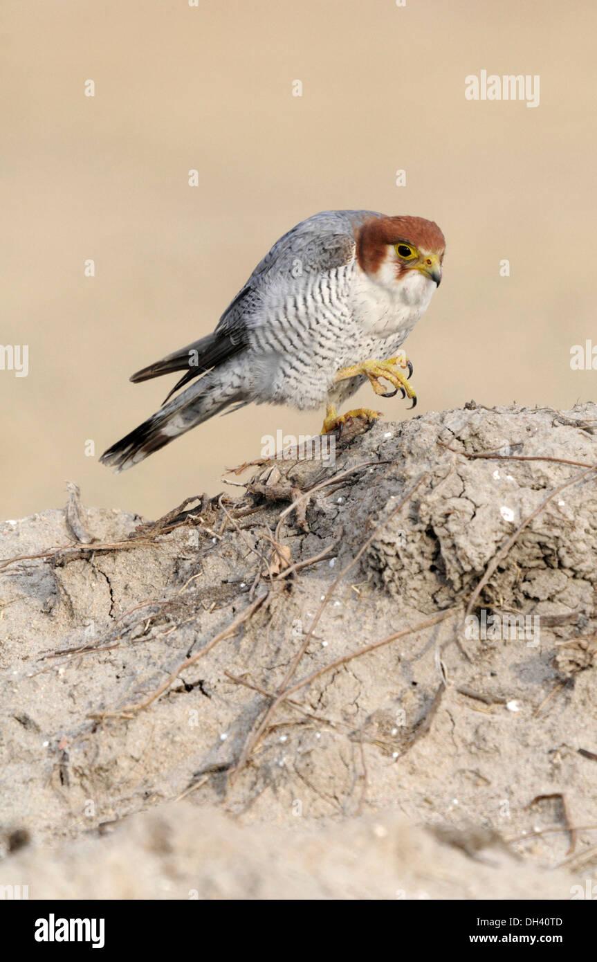 Red-headed Falcon - Falco chicquera - Stock Image