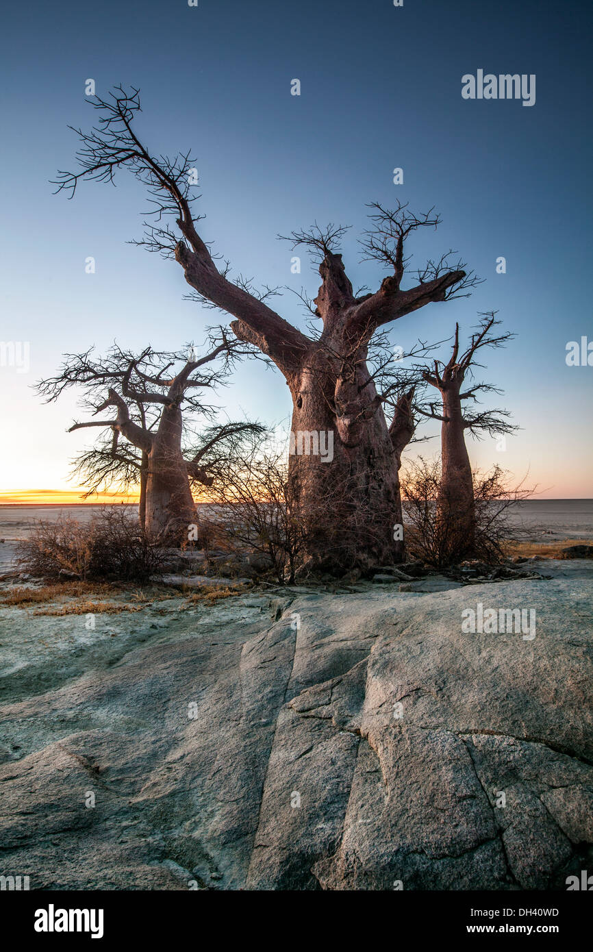 Baobab tree on Lekhubu Island, Botswana. Stock Photo