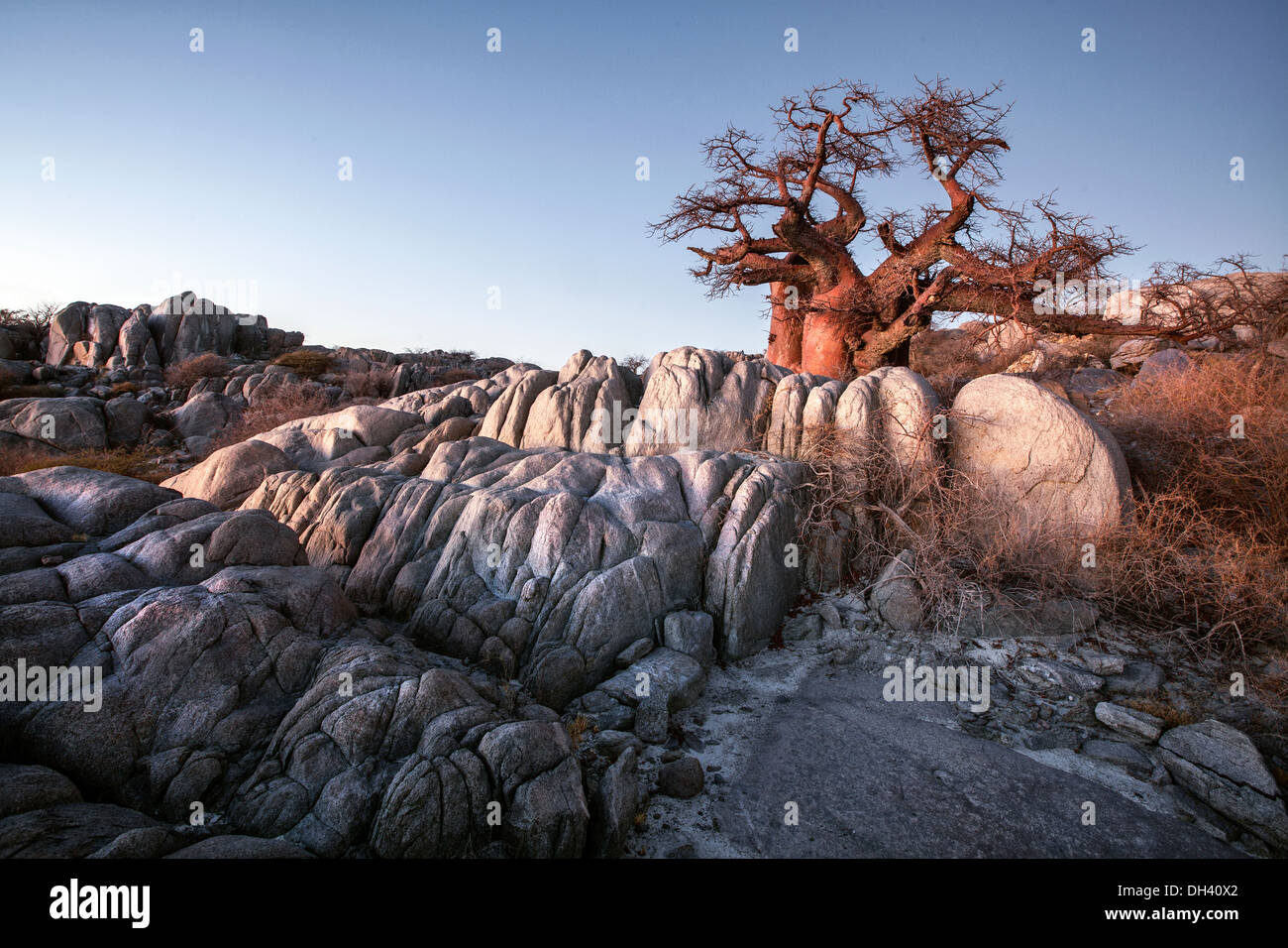 Baobab tree on Lekhubu Island, Botswana. - Stock Image