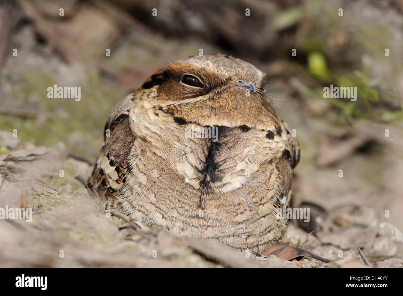 Indian Long-tailed Nightjar - Caprimulgus atripennis - Stock Image