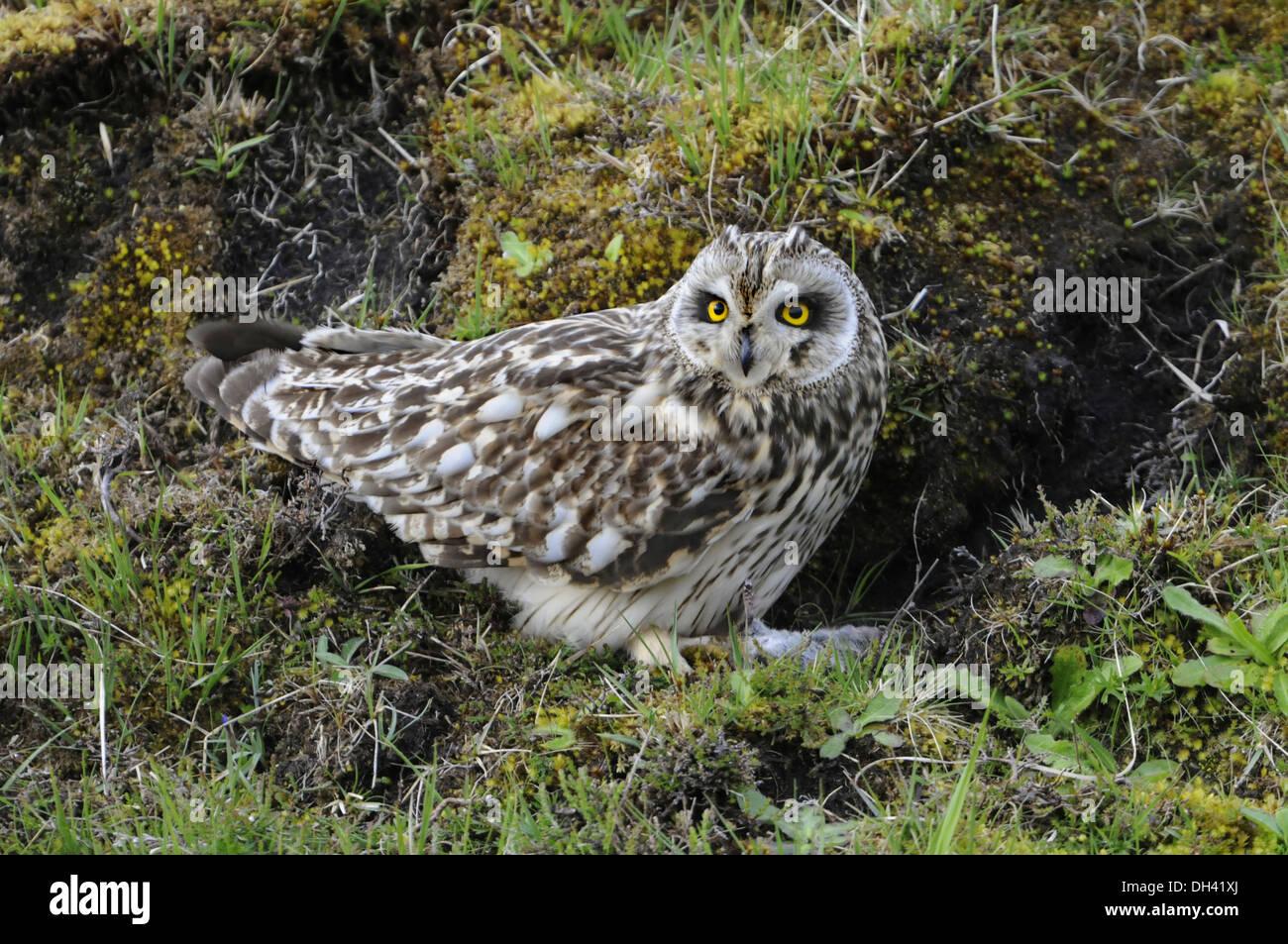 Short-eared Owl Asio flammeus - Stock Image