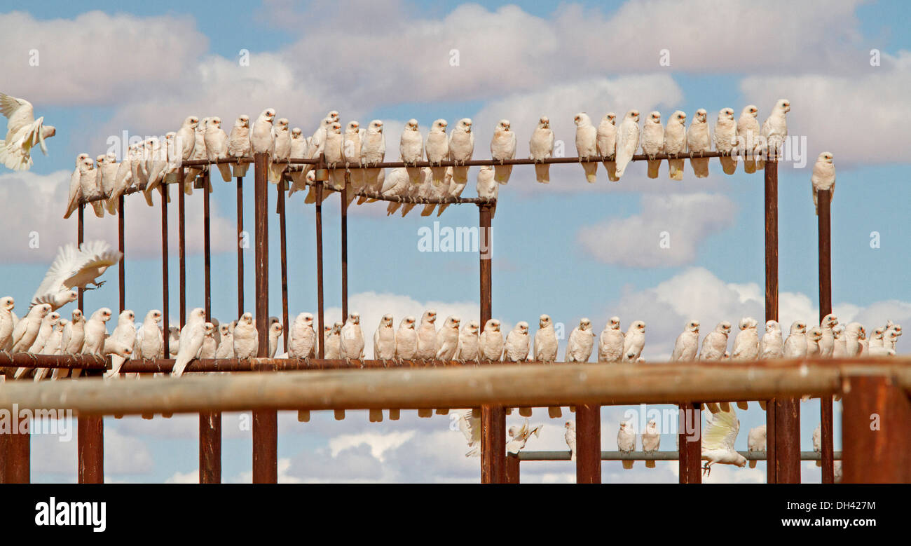 Panoramic shot of immense flock of corellas on railings of stock yards against blue sky in Australian outback near Lake Eyre SA - Stock Image