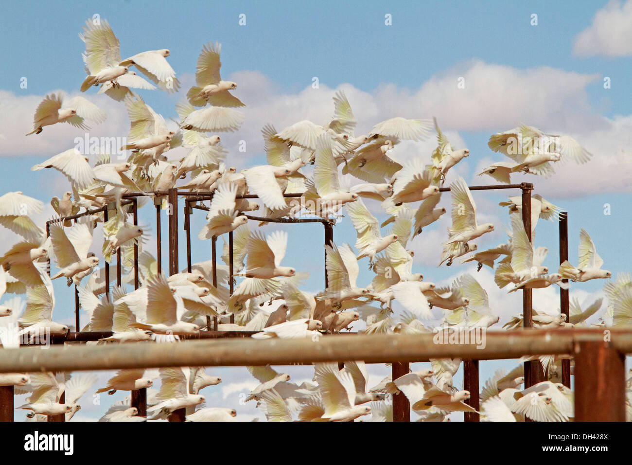 Immense flock of corellas in flight among railings of stock yards against blue sky in Australian outback near Lake Eyre SA - Stock Image