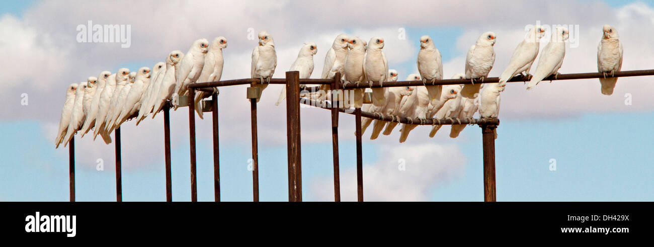 Panoramic shot of flock of corellas on railings of stock yards against blue sky in Australian outback near Lake Eyre SA - Stock Image