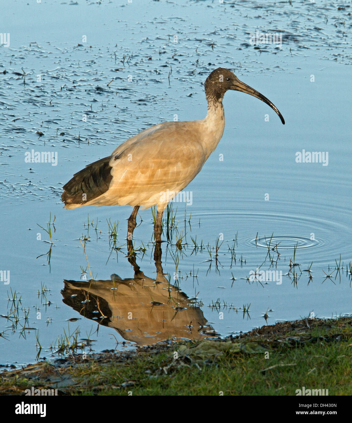 White ibis,threskiornis molucca, wading and reflected in calm blue water of lake at Nambucca Heads northern NSW Australia - Stock Image