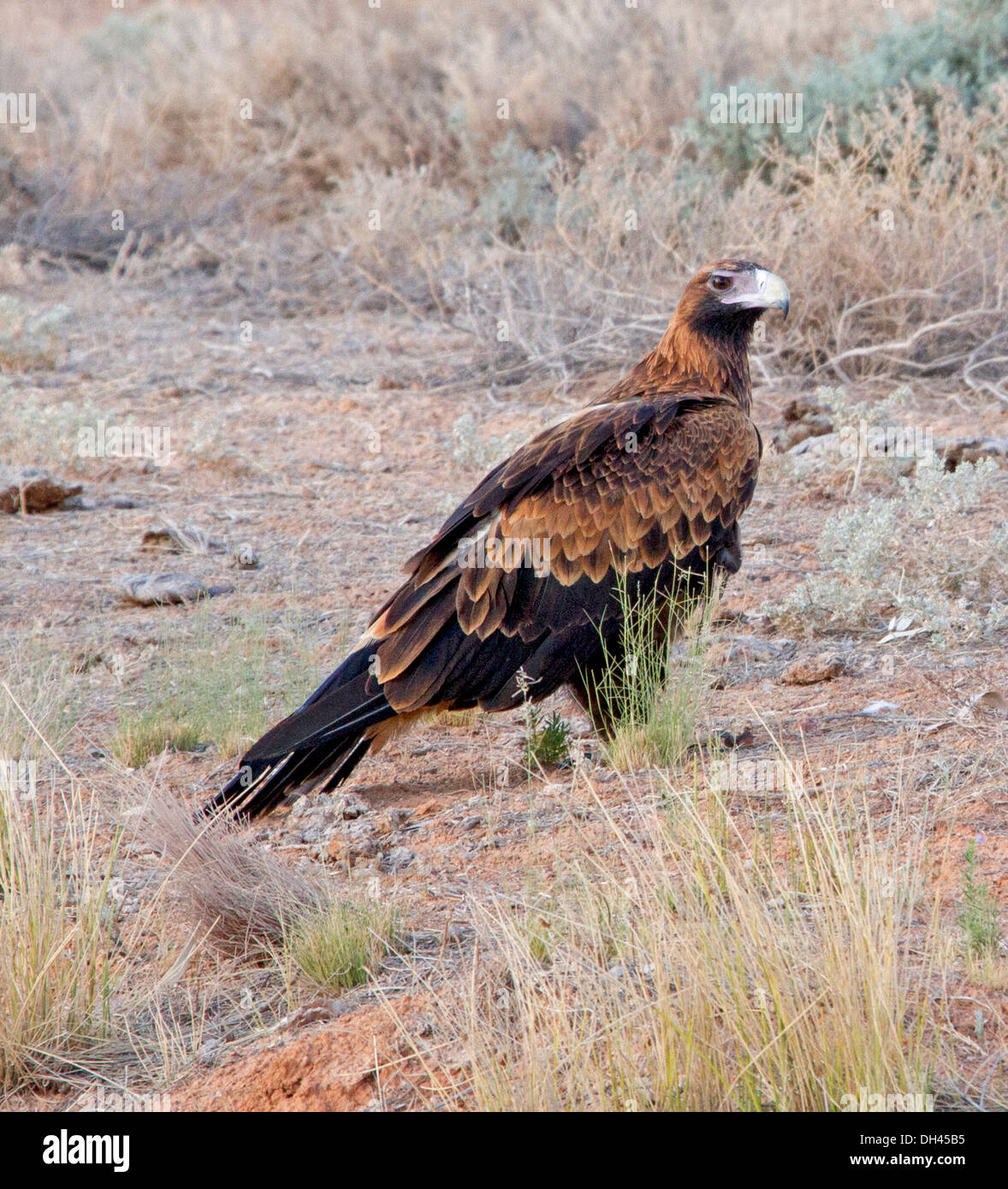 Wedge tailed eagle in the wild among tall grasses on the ground in the South Australian outback - Stock Image