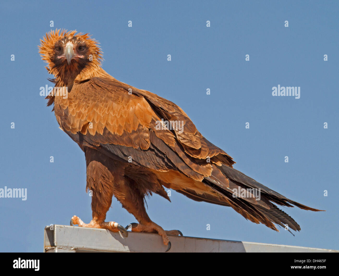 Wedge-tailed eagle, Aquila audax in the wild on railing and against blue sky in Australian outback in the Northern Territory - Stock Image