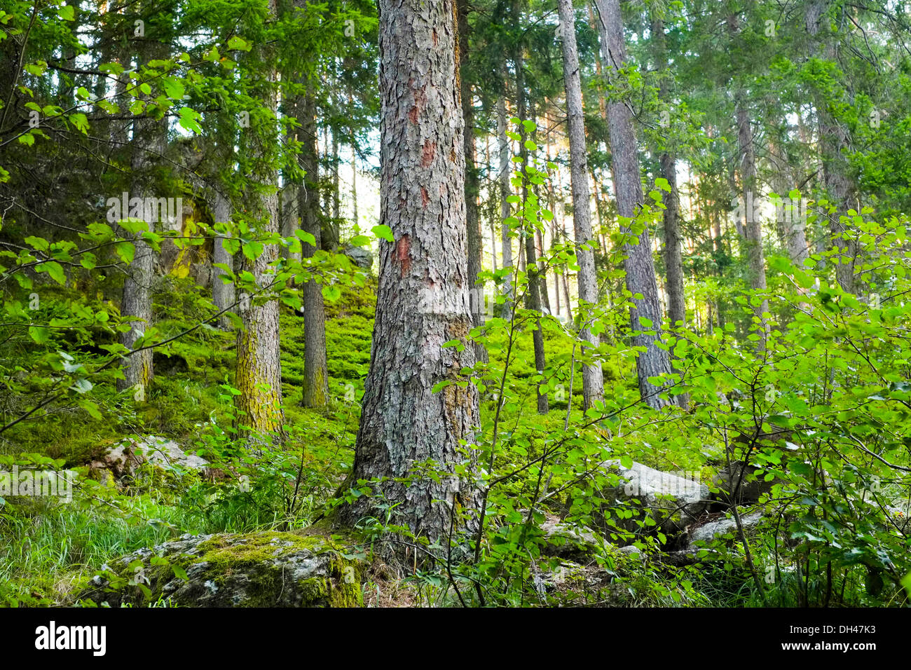 Forest in Aurina valley, South Tirol, Italy - Stock Image