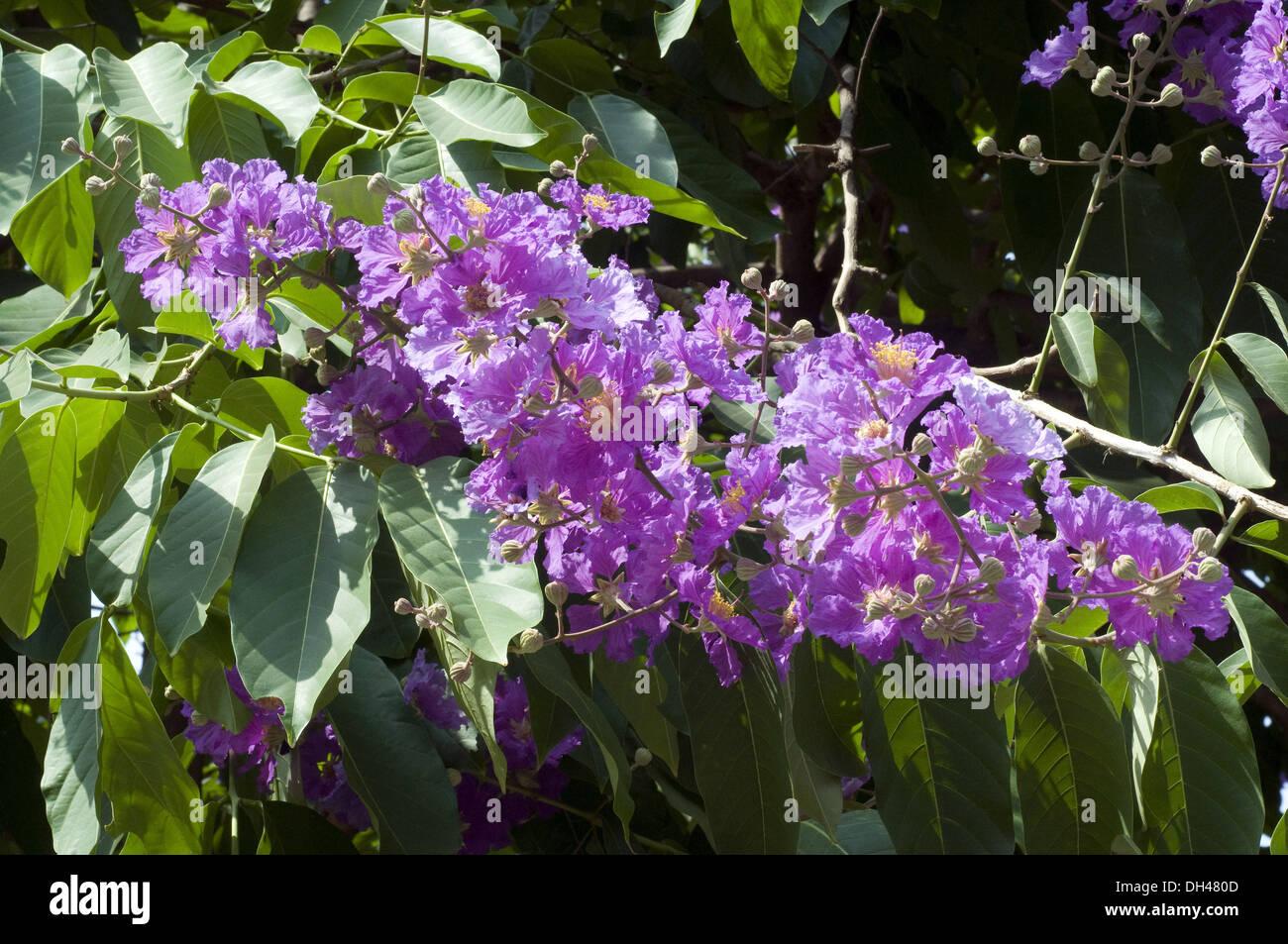 exotic rare purple violet Queen flower - Stock Image