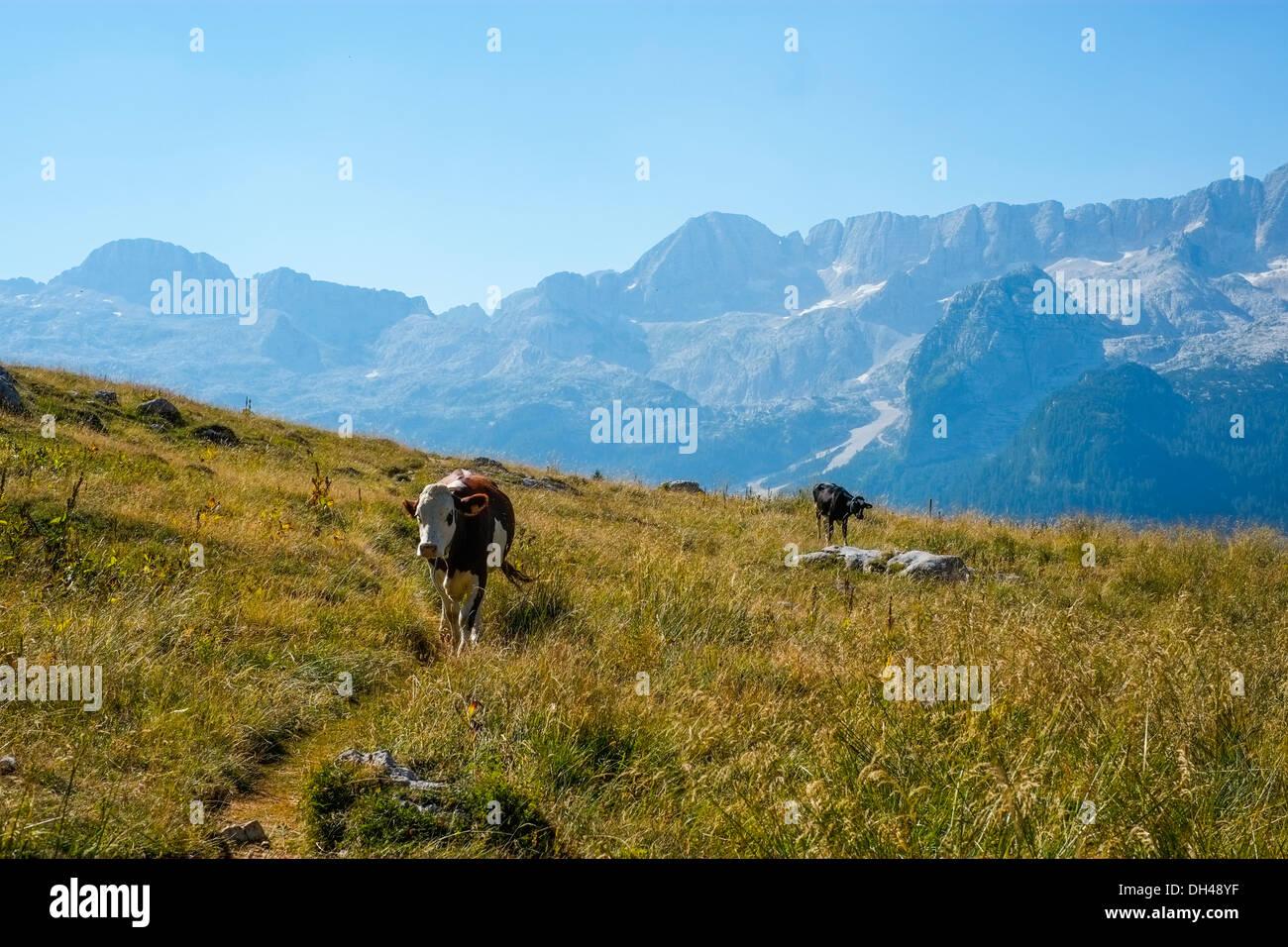 Cows in Altopiano di Montasio, Sella Nevea, Italy Stock Photo