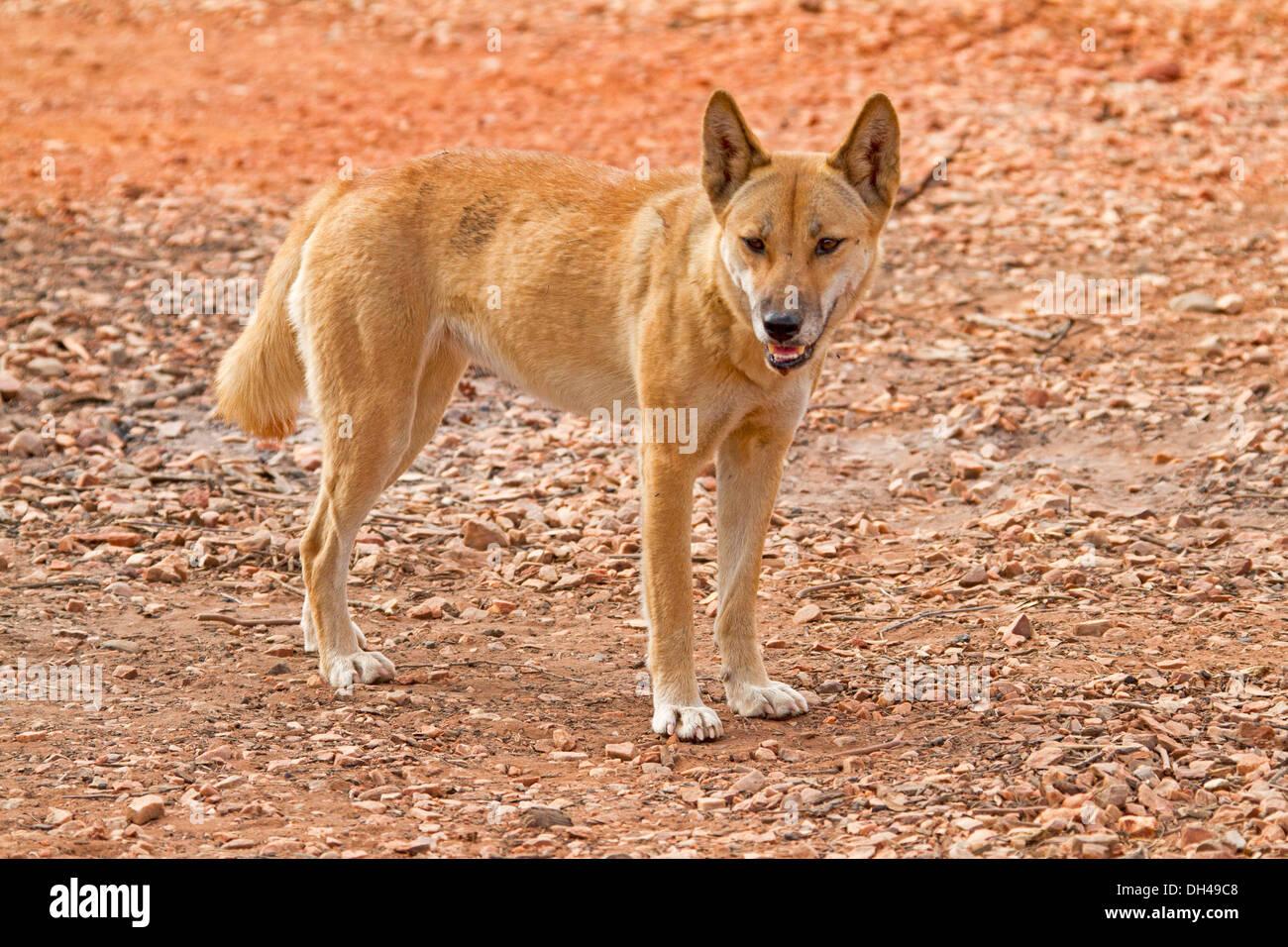 Red Dog Alice Springs