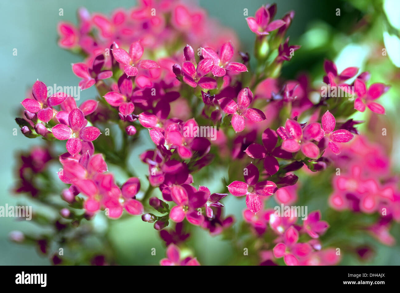 Kalanchoes tropical plant red pink flowers maharashtra india asia kalanchoes tropical plant red pink flowers maharashtra india asia mightylinksfo