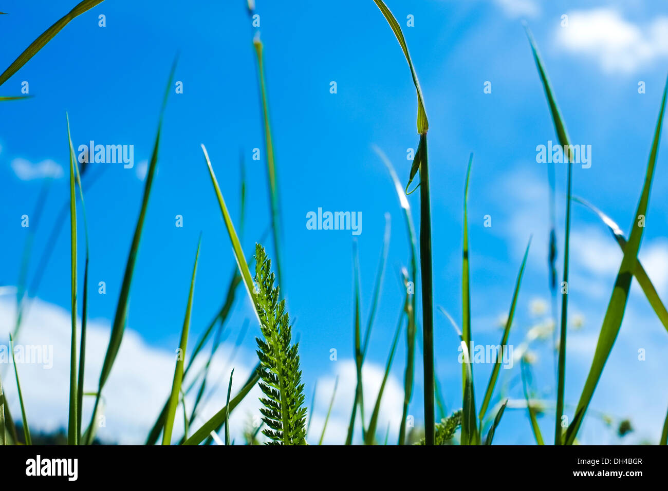 Close-up of blade of grass, Alps Mountains, Italy - Stock Image