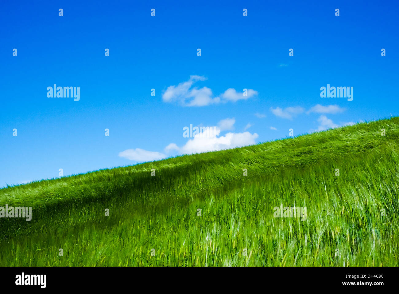 wheat field moved by wind in sunshine in spring with blue sky - Stock Image