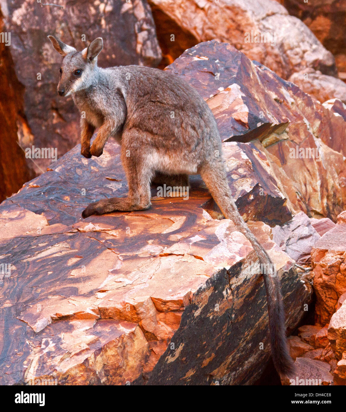 Rare black-footed rock wallaby Petrogale lateralis on rocks in the wild at Simpson's Gap in West MacDonnell Ranges near Alice Springs NT Australia - Stock Image