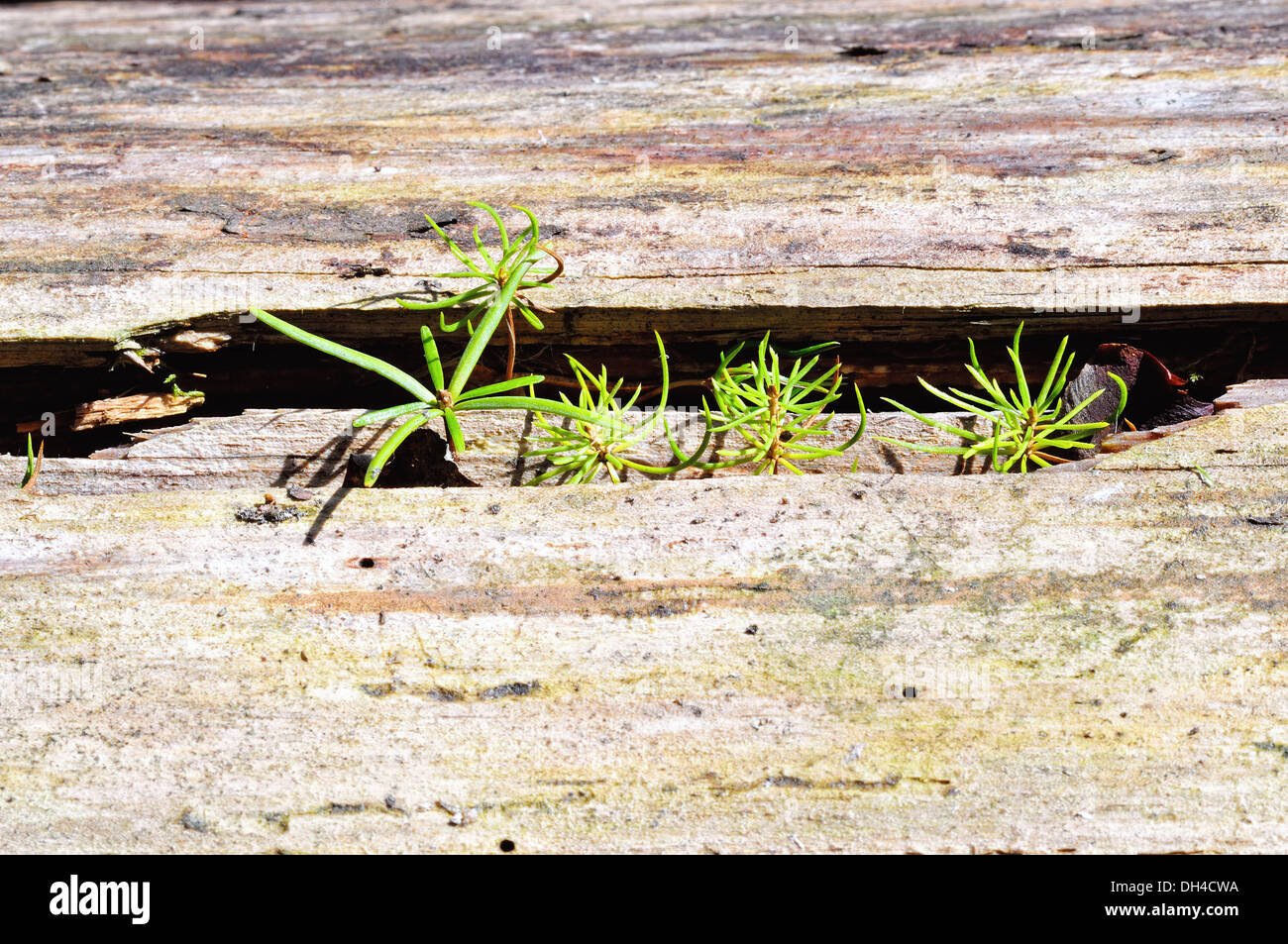 Seedlings, spruce and fir-tree in wood Stock Photo