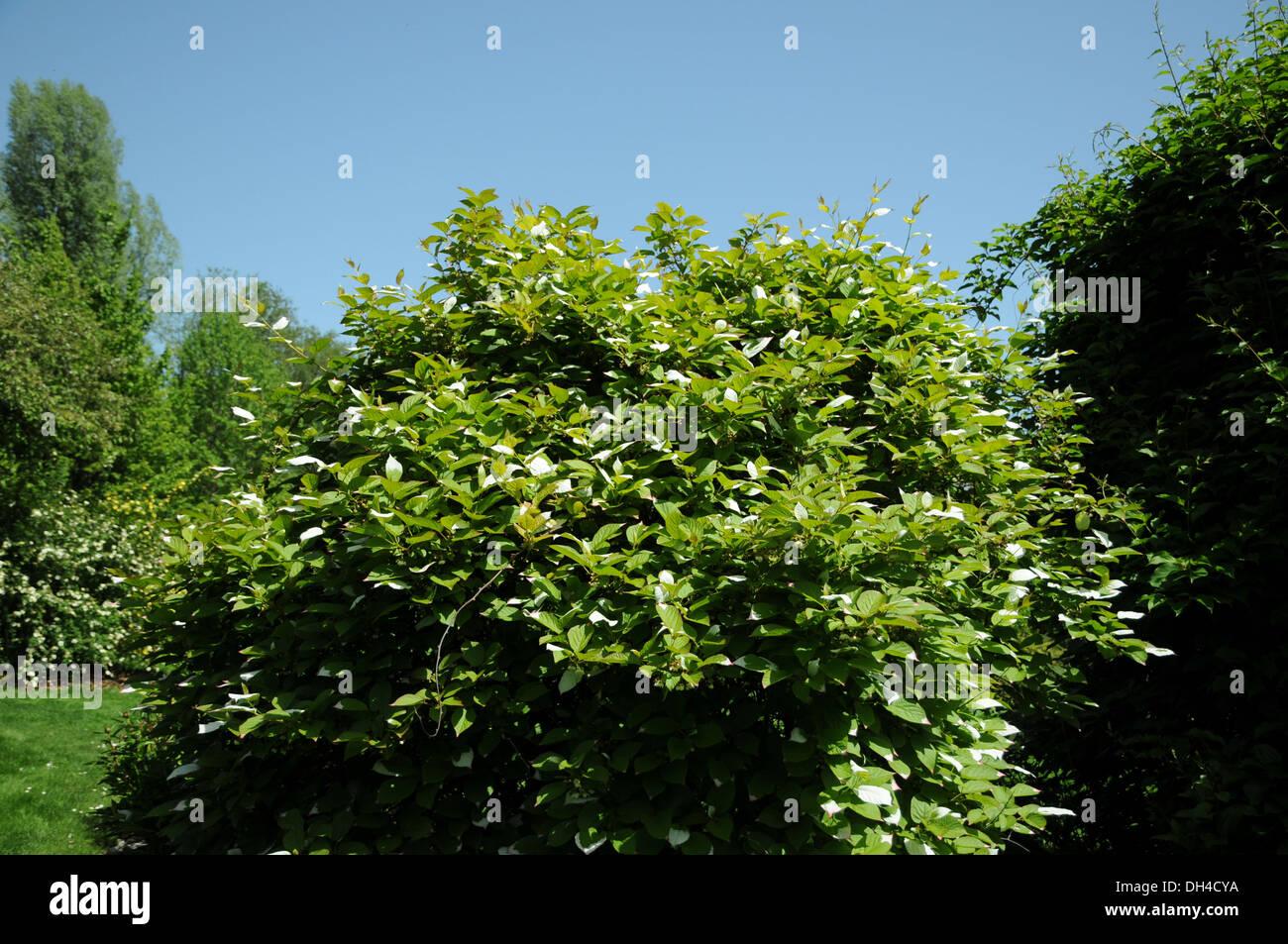 Japanese Kiwi - Stock Image