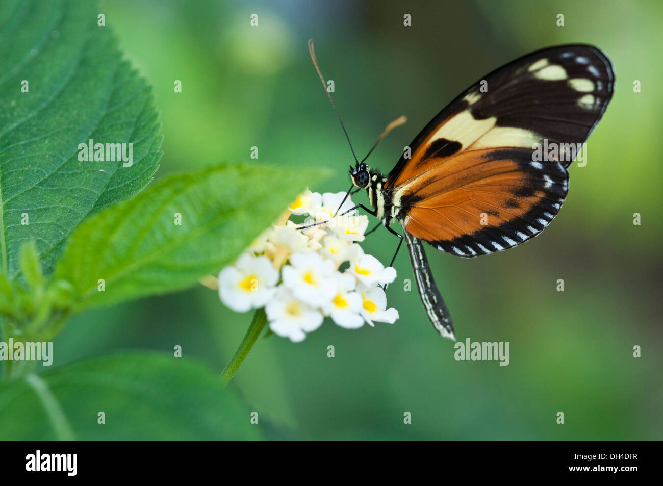 Heliconius hecale zuleika butterfly feeding on clustered white flowers of Lantana camara - Stock Image