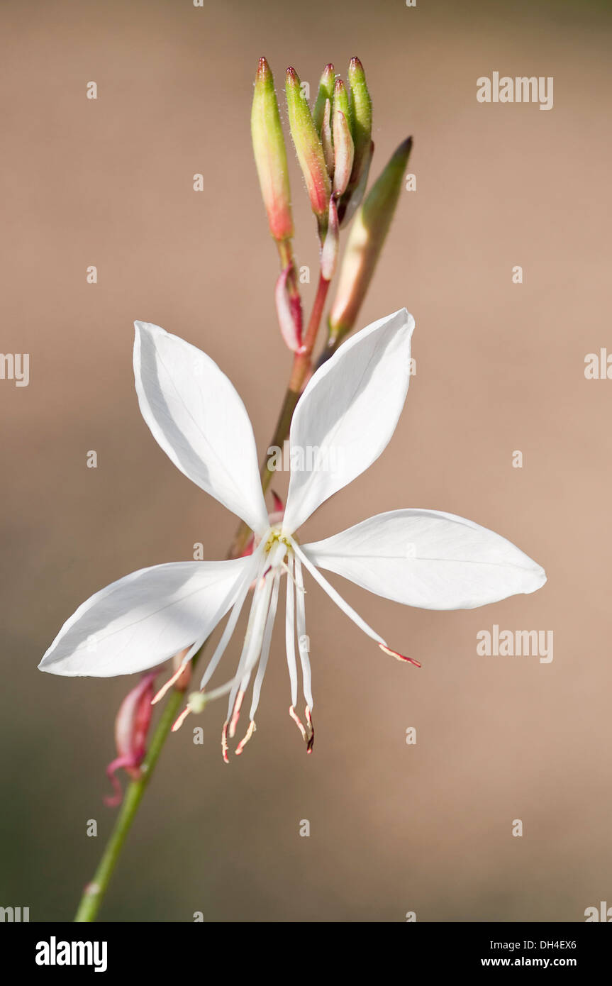 Gaura lindheimeri Whirling butterflies. Stem with single, white, open flower and cluster of buds. - Stock Image