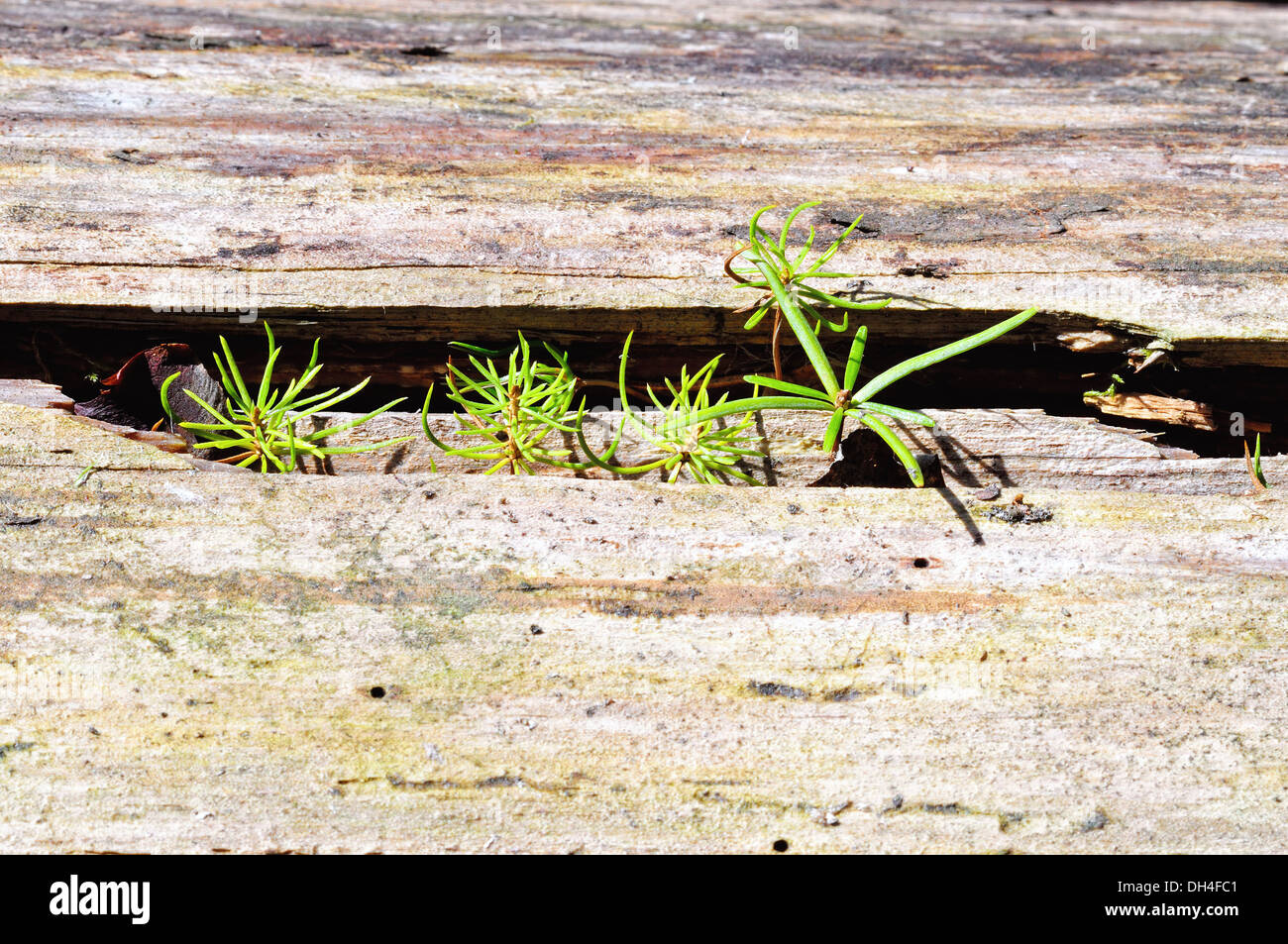 Spruce and fir grow in wood Stock Photo