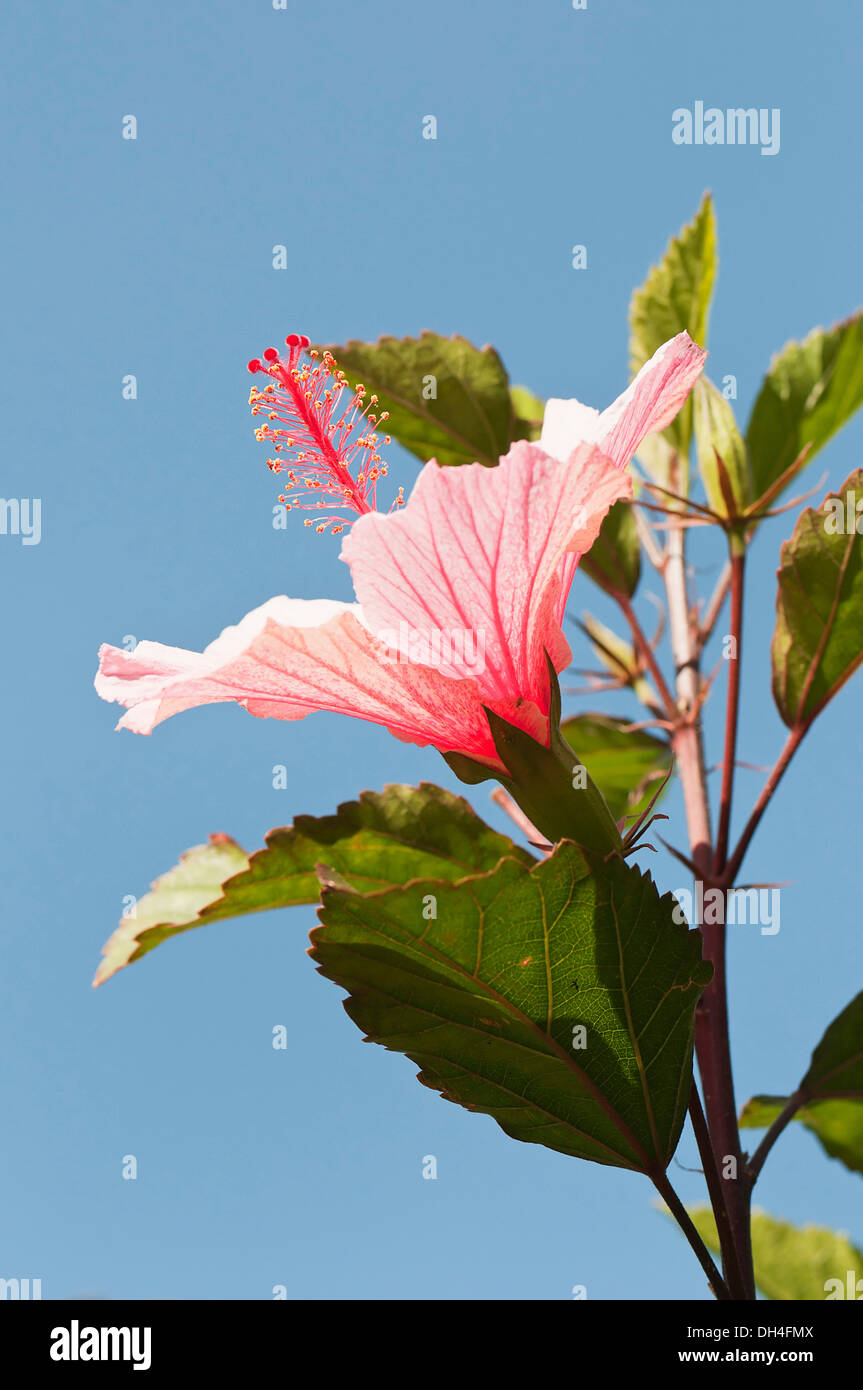 Flower hibiscus with protruding stamen stock photos flower hibiscus flower with protruding pistil and stamens turned upwards towards sunshine against blue sky izmirmasajfo
