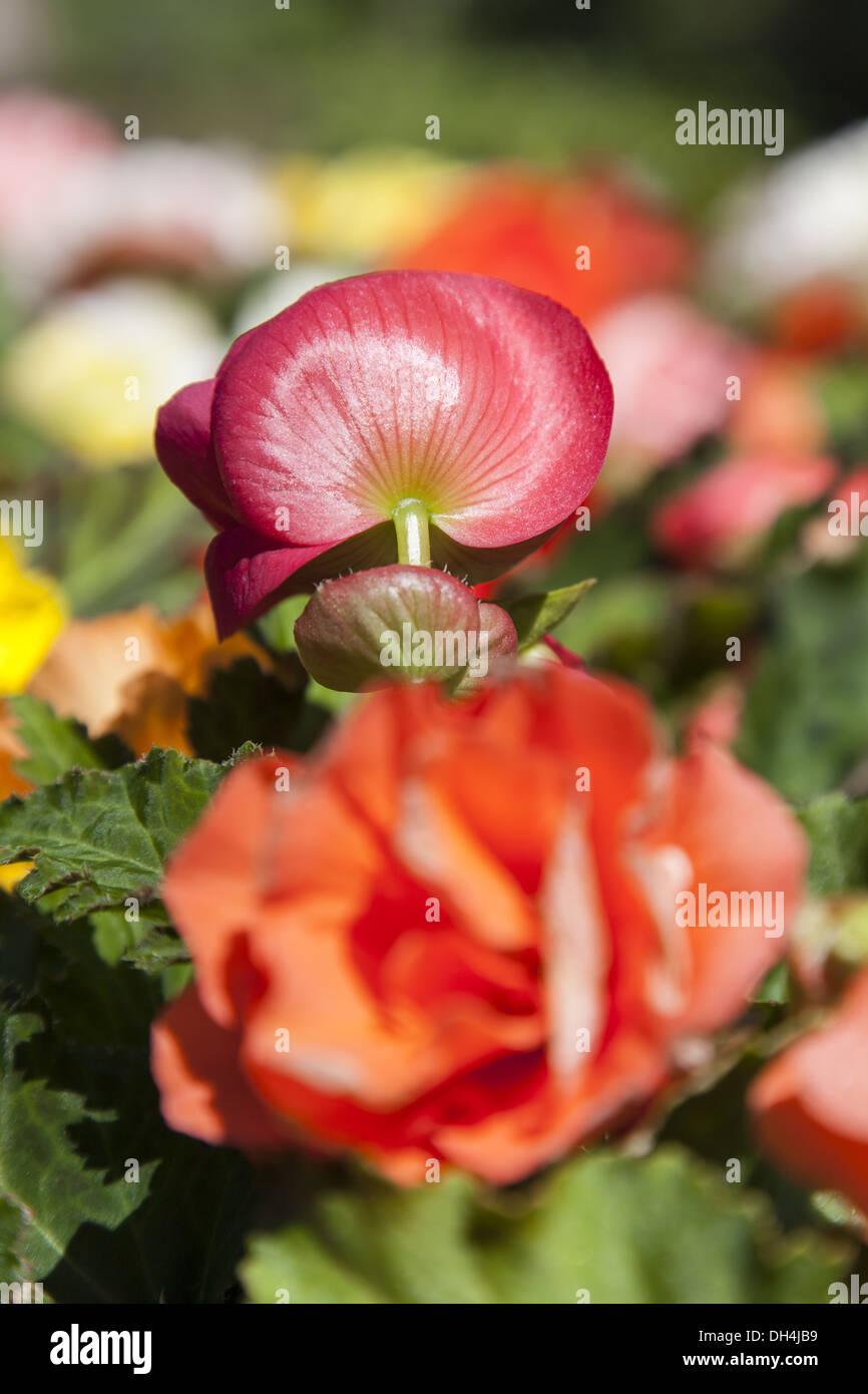 Tuberous begonias (Begonia × tuberhybrida) Stock Photo