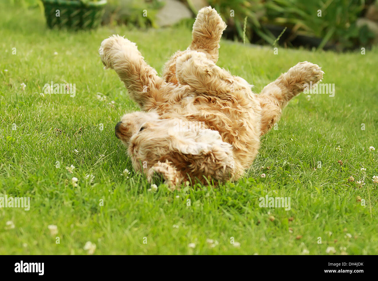 red dog of breed American Cocker Spaniel plays in garden on green grass, well-groomed lawn - Stock Image
