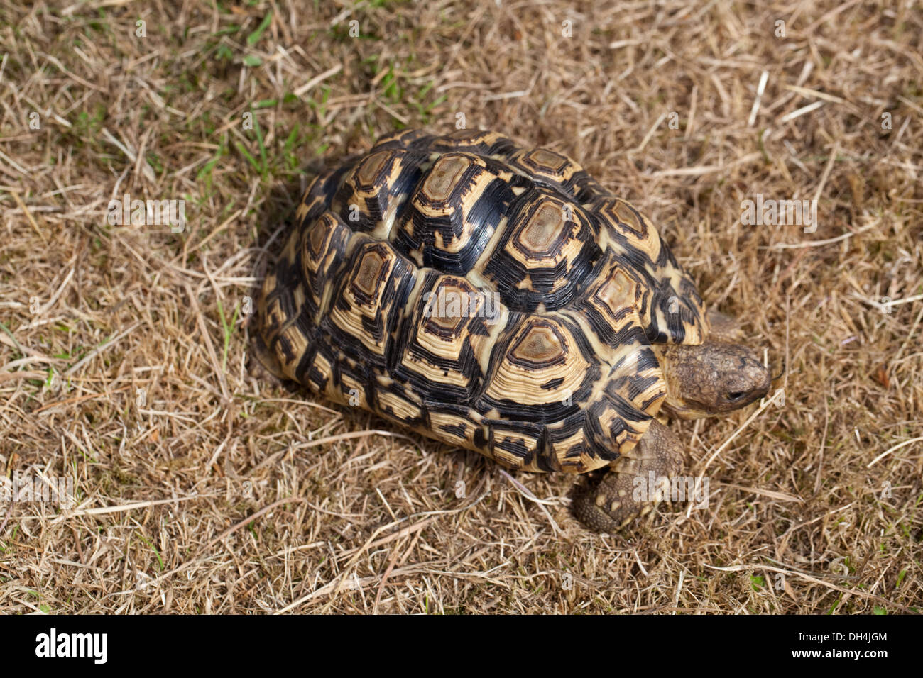 Leopard Tortoise (Geochelone pardalis). Illustrating how cryptic carapace markings help brake up outline against a dry habitat. - Stock Image