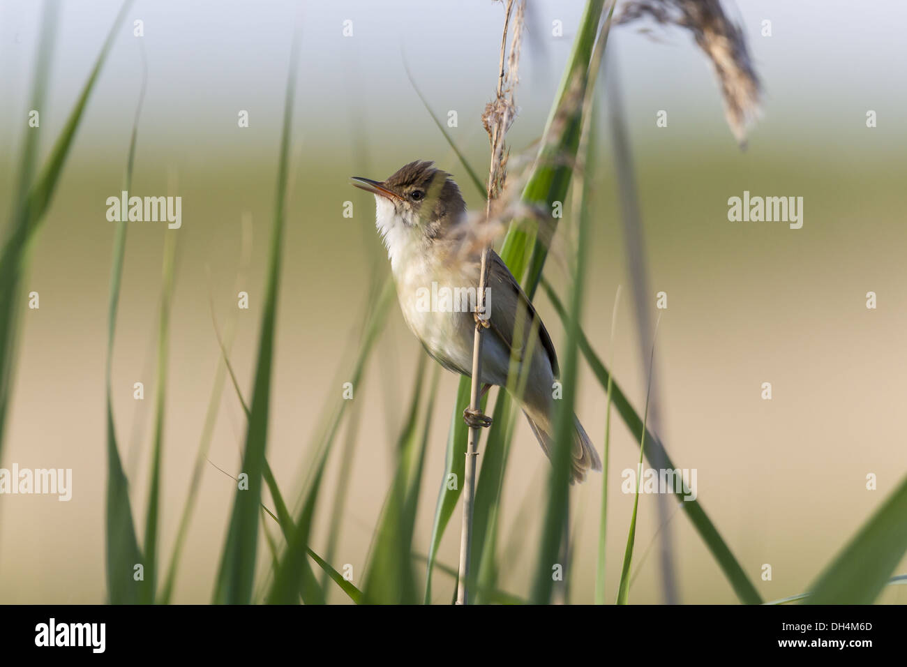 Reed Sparrow Stock Photos Reed Sparrow Stock Images Page 2 Alamy