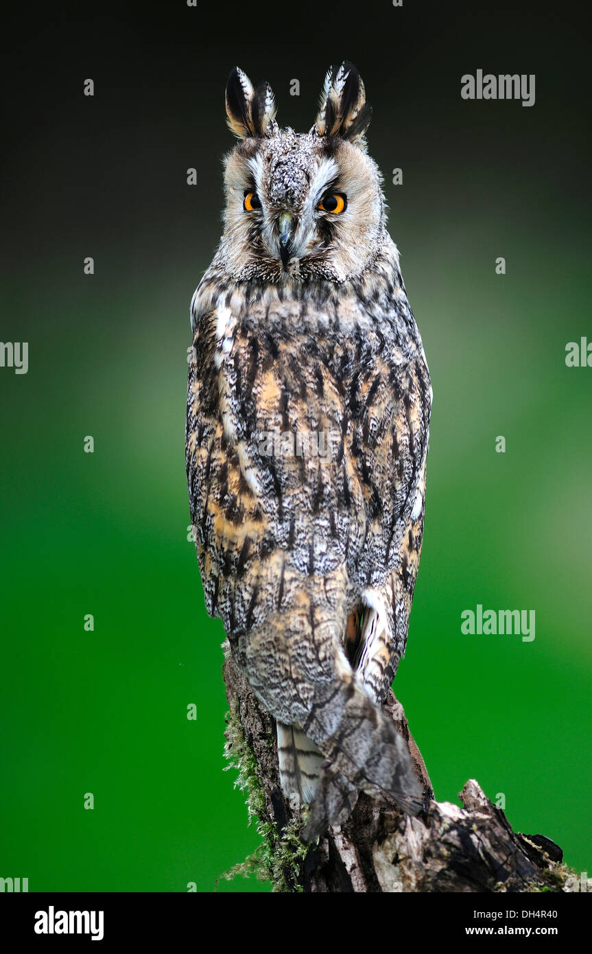 A long-eared owl watching and waiting UK - Stock Image