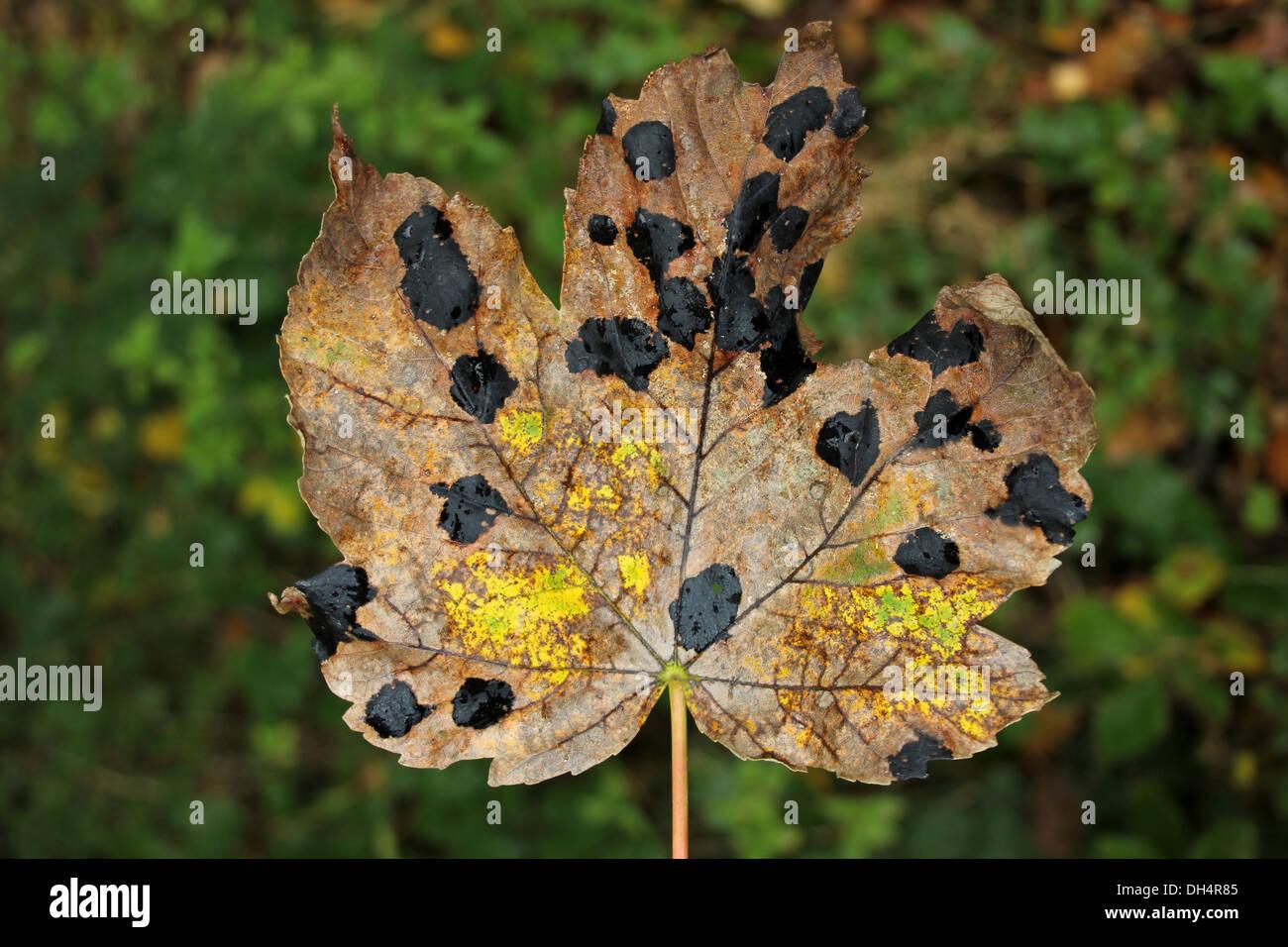 Tar Spot Fungus Rhytisma acerinum On Sycamore Leaf - Stock Image