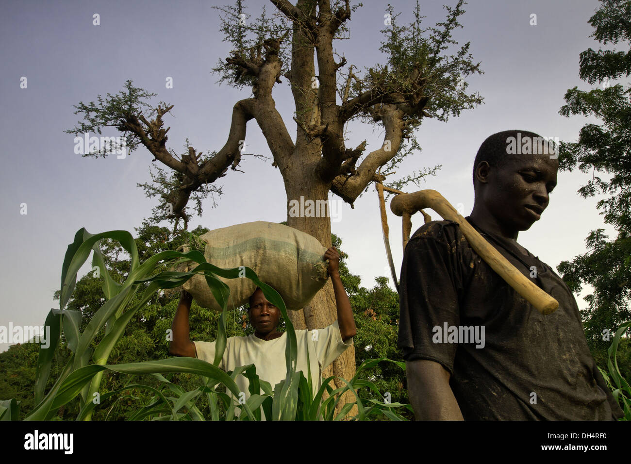 Nitrogen fixing Faidherbia albida tree in Kano, Nigeria - Stock Image