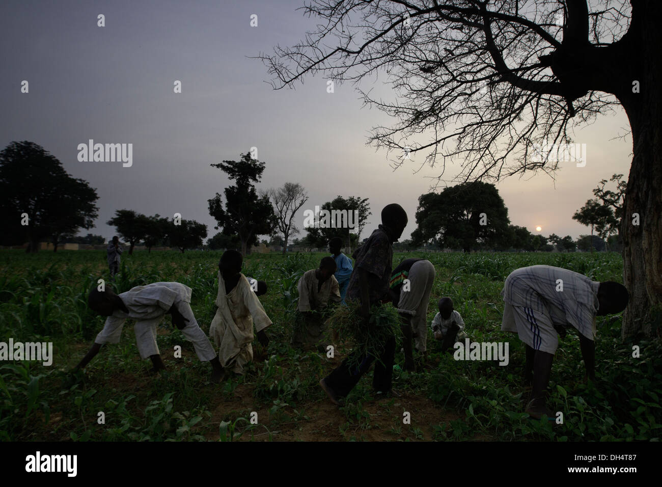 Nitrogen fixing Faidherbia albida tree in Kano, Nigeria Stock Photo