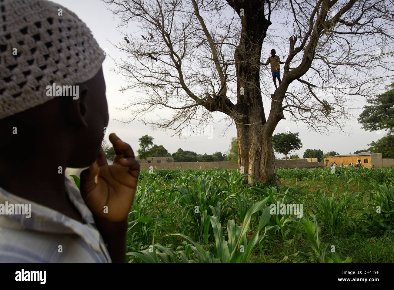 Nitrogen fixing Faidherbia albida tree in village near Kano, Nigeria. - Stock Image