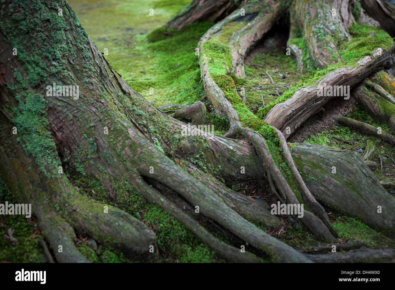 Roots of an old tree in a Japanese garden covered in moss - Stock Image