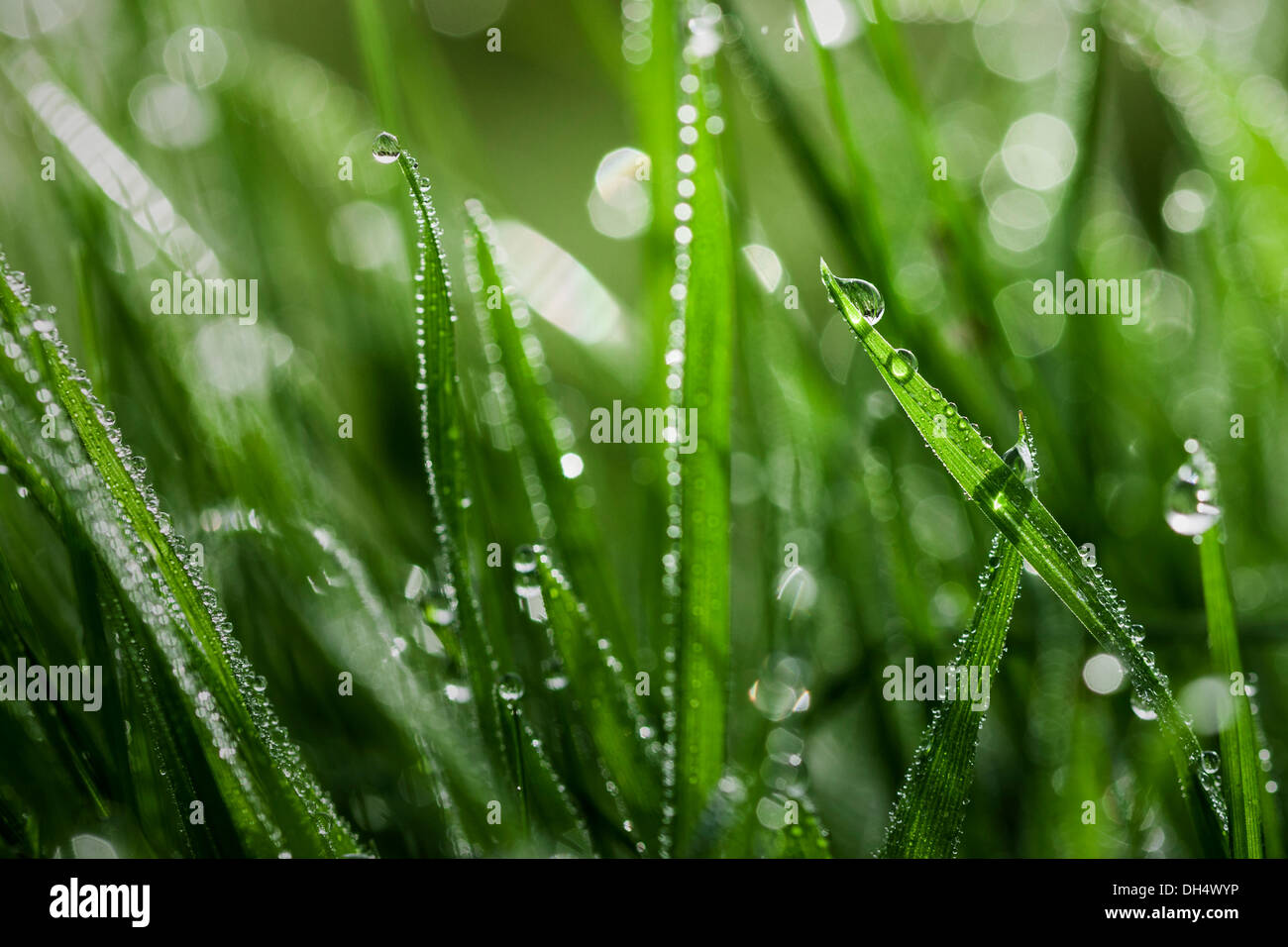 Many blades of grass covered in dew drops - Stock Image
