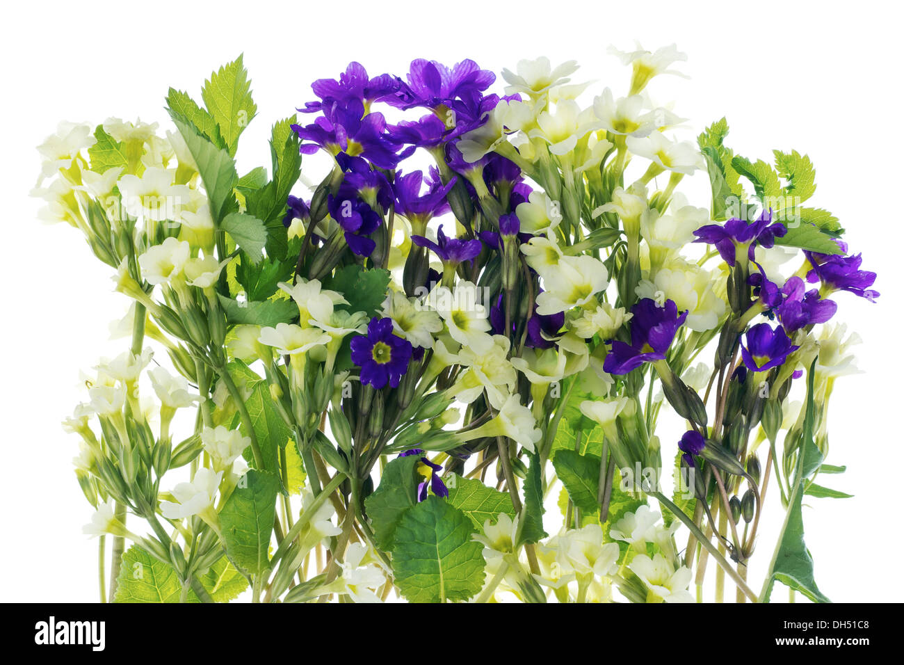 Bush of first springs flowers stock photo 62191144 alamy bush of first springs flowers mightylinksfo