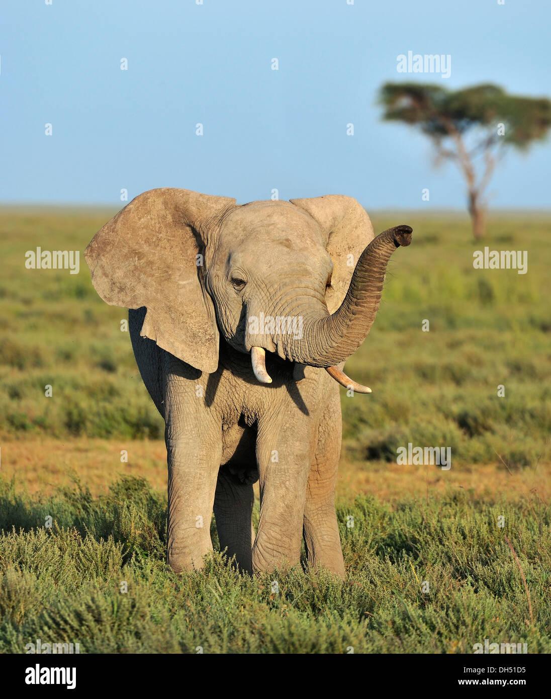 Young African Bush Elephant (Loxodonta africana) in the savannah landscape, Serengeti, Tanzania - Stock Image