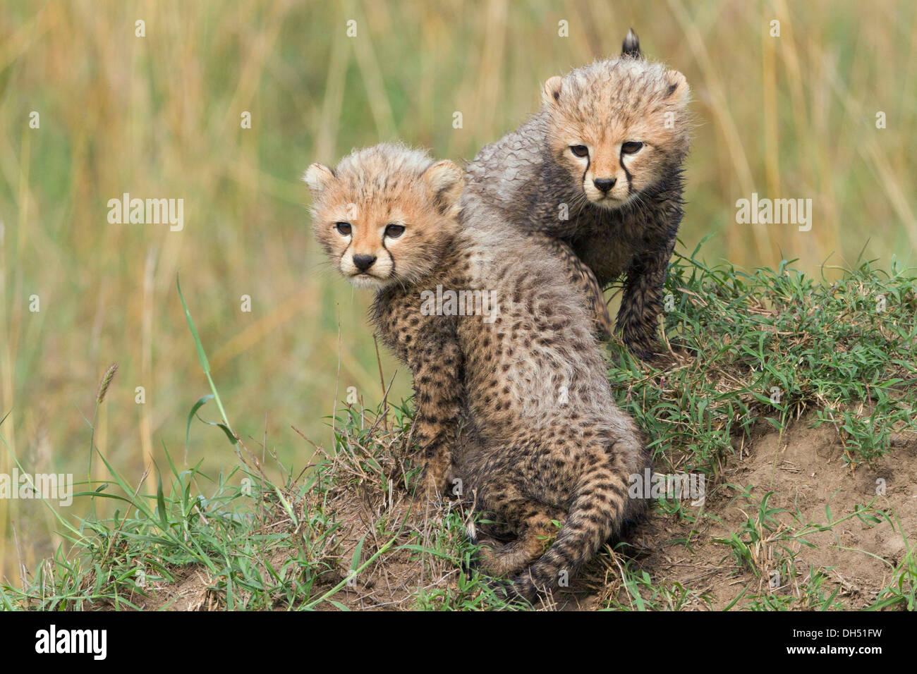 Cheetahs (Acinonyx jubatus), cubs, several weeks, Massai Mara, Serengeti, Rift Valley province, Kenya - Stock Image