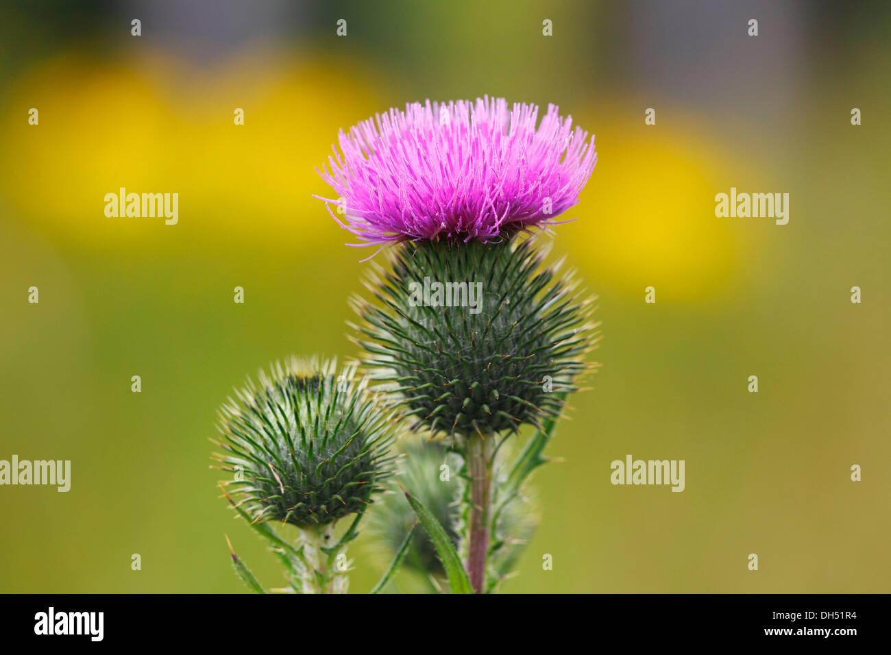 Flowering Spear Thistle (Cirsium vulgare, Cirsium lanceolatum) - Stock Image