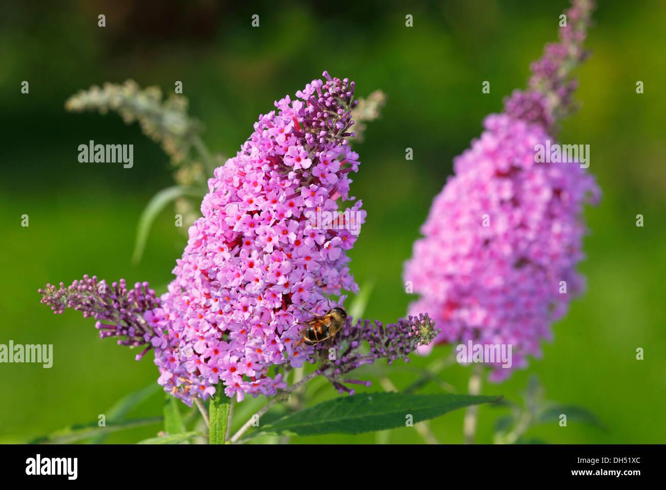 Purple flowering Buddleja, Buddleia, Summer Lilac or Butterfly-Bush (Buddleja 'Buzz Blue') - Stock Image