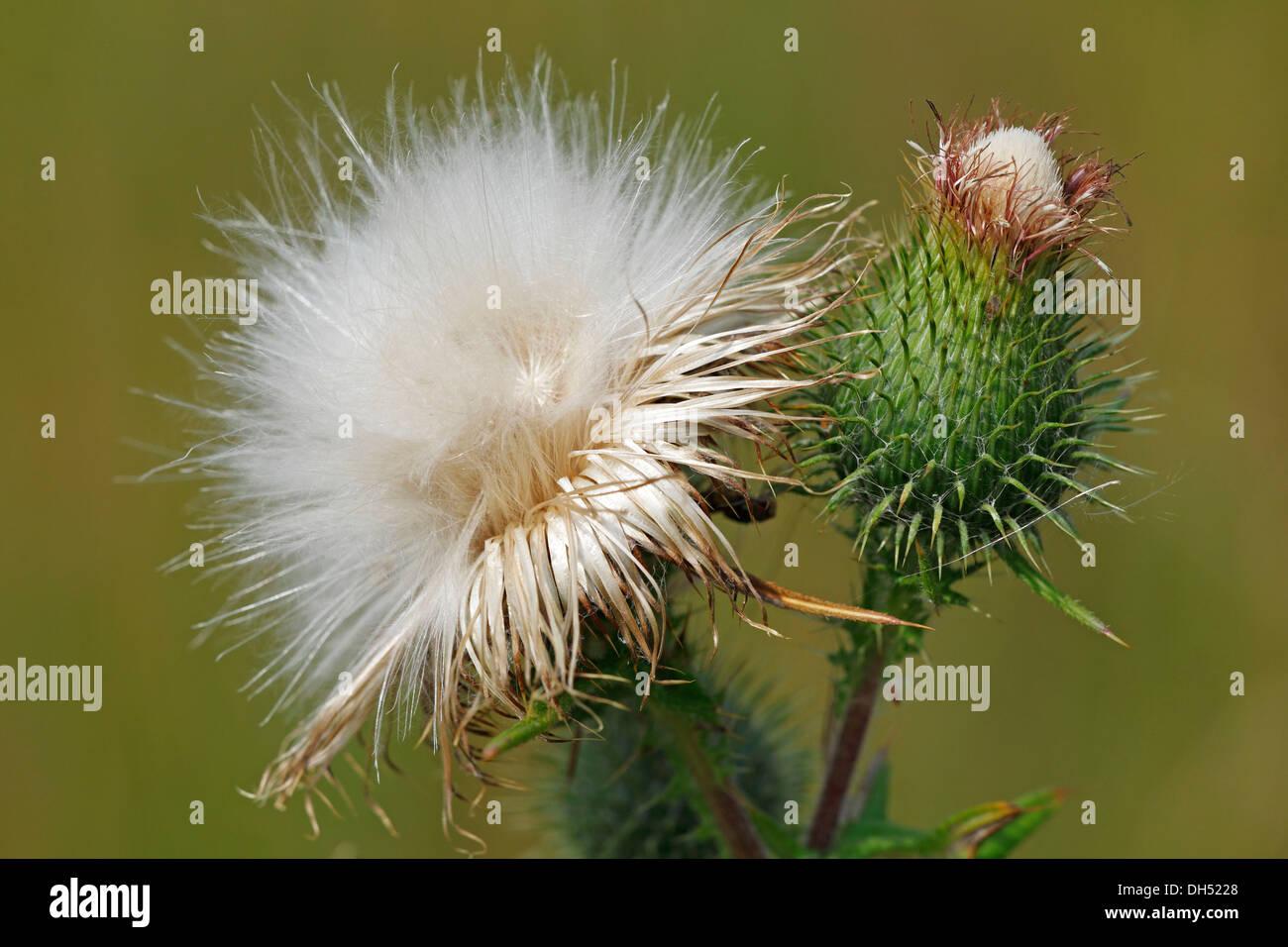 Seedhead of the Spear Thistle (Cirsium vulgare, Cirsium lanceolatum) - Stock Image