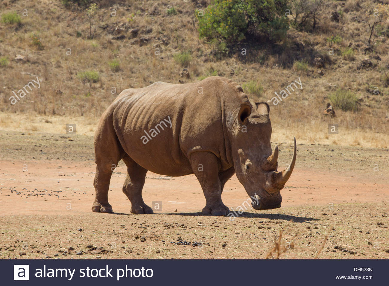 A White Rhinoceros Grazing in a Lion and Rhino Reserve in South Africa - Stock Image