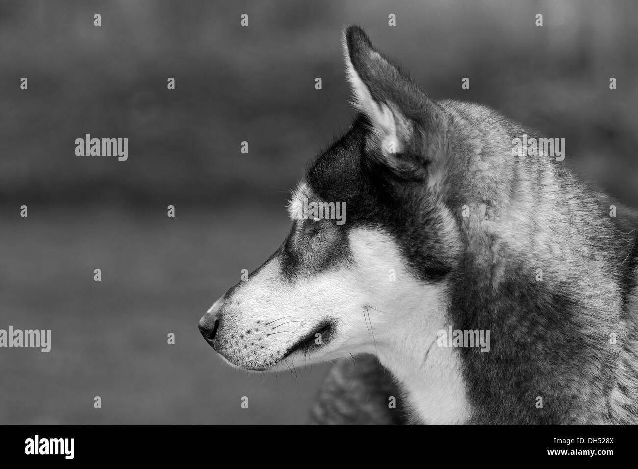 Siberian Husky,, Nordic sled dog, male, one year, portrait, Germany - Stock Image