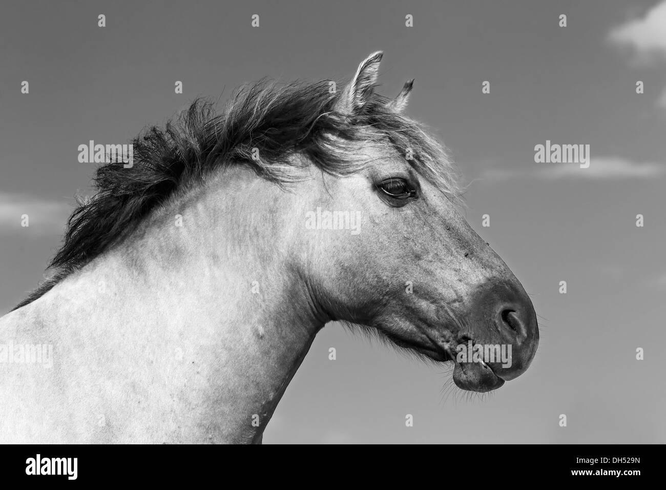 Konik horse (Equus przewalskii f caballus), Tarpan or Przewalski's horse breeding back, portrait, Germany - Stock Image