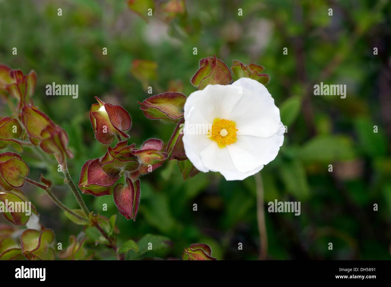 Cistus × obtusifolius 'Thrive' - Stock Image