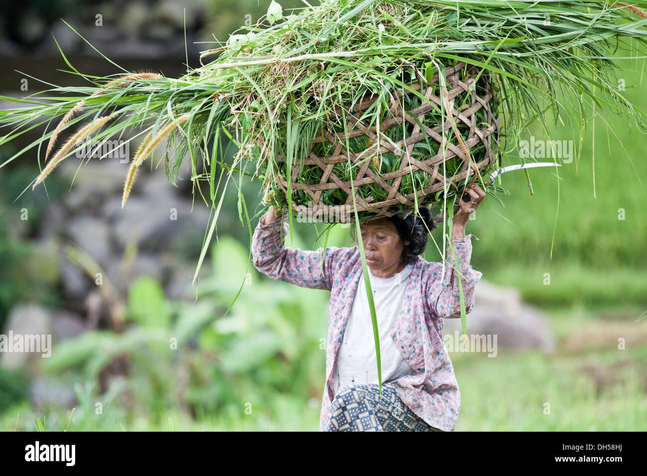 Indonesian farmer carrying the harvest in a basket on her head, Terara, Lombok island, Nusa Tenggara Barat Province, Indonesia - Stock Image