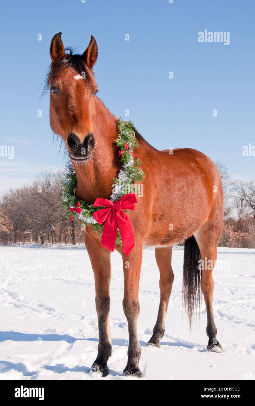 Bay Arabian horse in snow with a Christmas wreath around his neck - concept of gift horse - Stock Image